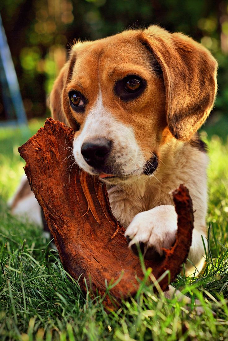 Puppy eyes beagle wallpaper × Wallpaper HD for your