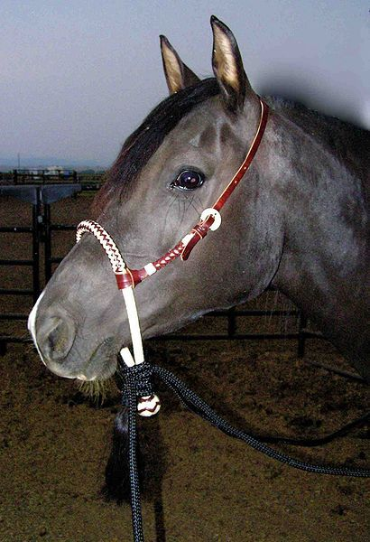 Bitless bridles can be great, but your #horse will need a chance to learn how to respond to the bridle before you're in the #saddle. Here are some tips to start with!