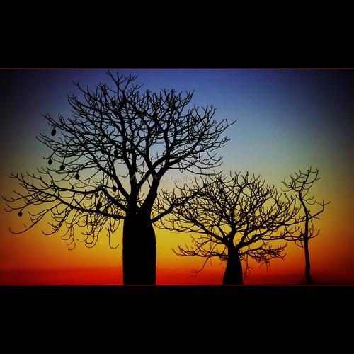 Kimberly, Australia His majesty, the Boabab Tree (by Garry -...