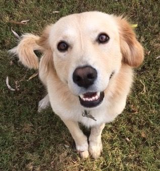 This is Crystal approx 6-8 months old. She is spayed, current on vacciantions, rides well in a car. Adopt A Golden Birmingham, AL. - http://www.adoptagoldenbirmingham.com/orphans_detail.asp?id=691