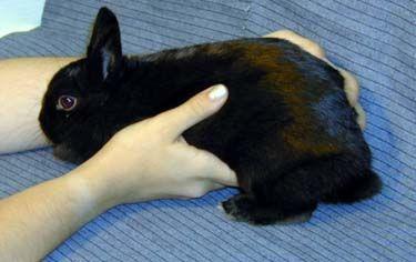 Rabbit Breeding for Beginners - Gestation and Birth