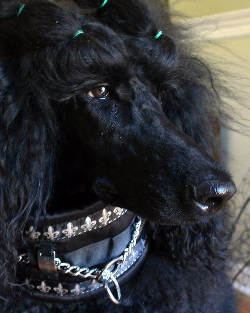 This pretty pup is on her way to beautiful! #dogs #pets #Poodles facebook.com/sodoggonefunny