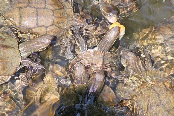 Feeding the turtles   Lesvos - Greece  - 2013