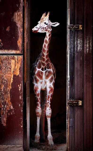 Giraffe in barn | A giraffe stands in a barn, Southwick's Zo… | Stu M | Flickr