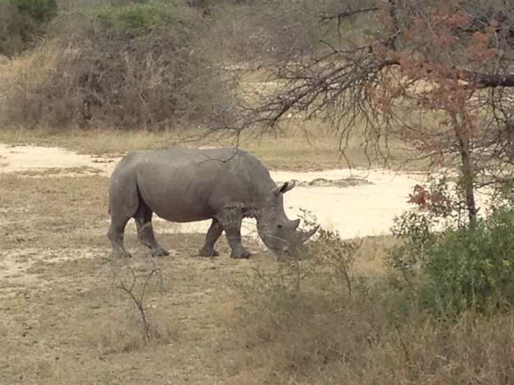 Kruger Extension 2013 - A Black Rhinoceros - our 4th of the Big 5 (23/8/13).