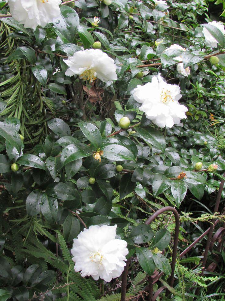 White Doves Camellia Camellia sasanqua 'White Doves' ('Mine-No-Yuki')