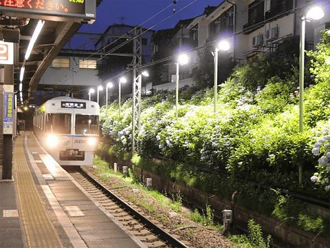 井の頭線 東松原駅のあじさいライトアップが話題!井の頭線のおすすめスポット