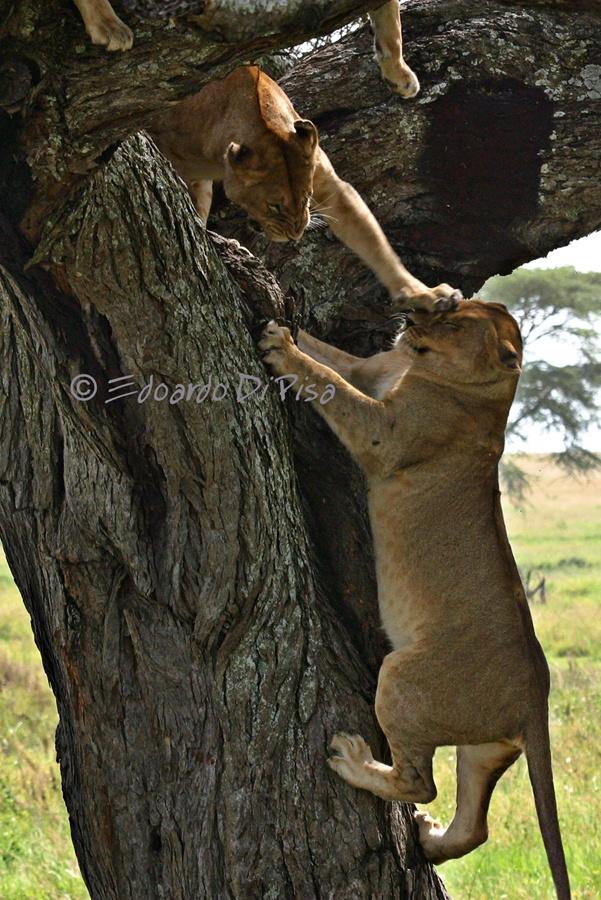 Lions on tree - Serengeti NP - Tanzania