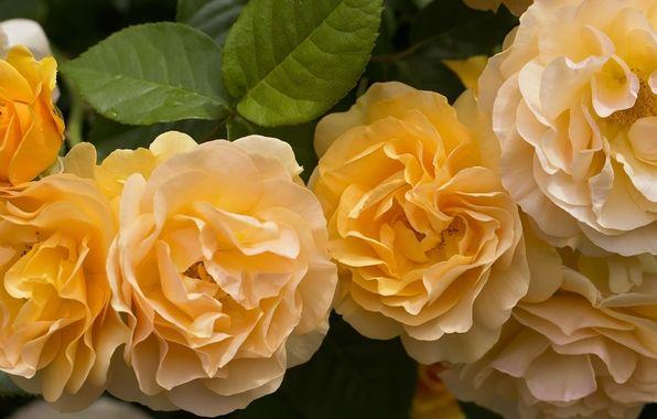 Обои картинки фото жёлтые розы, розы, лепестки