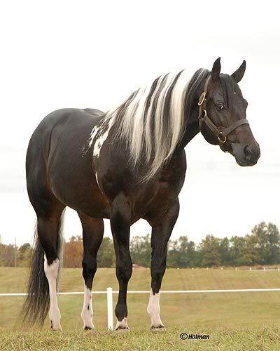 Beautiful black paint quarter horse - Belo cavalo