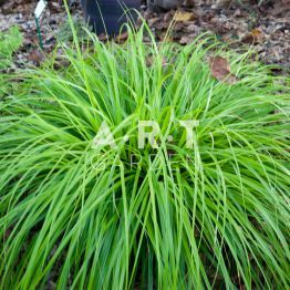 32 best carex images on Pinterest | Garden grass, Ornamental ...