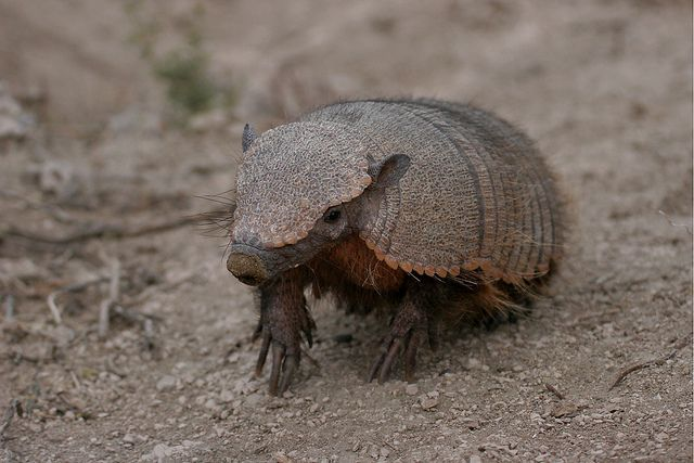 an overview of the animal armadillo in animal kingdom Dooley the armadillo is a guest who hails from the flat open country of north and south america and appears in the fourth episode of the animal  overview about.