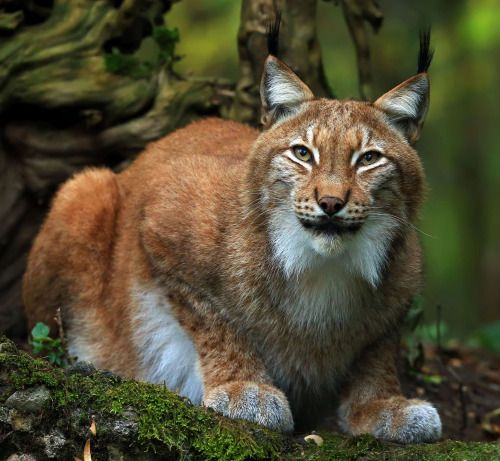"""beautiful-wildlife: """" Lynx by © loramulle """""""