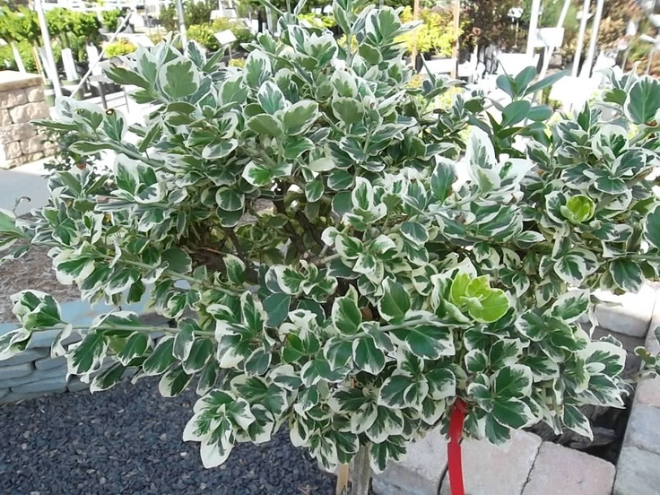 Gaiety euonymus tree petite ornamental tree great for small areas
