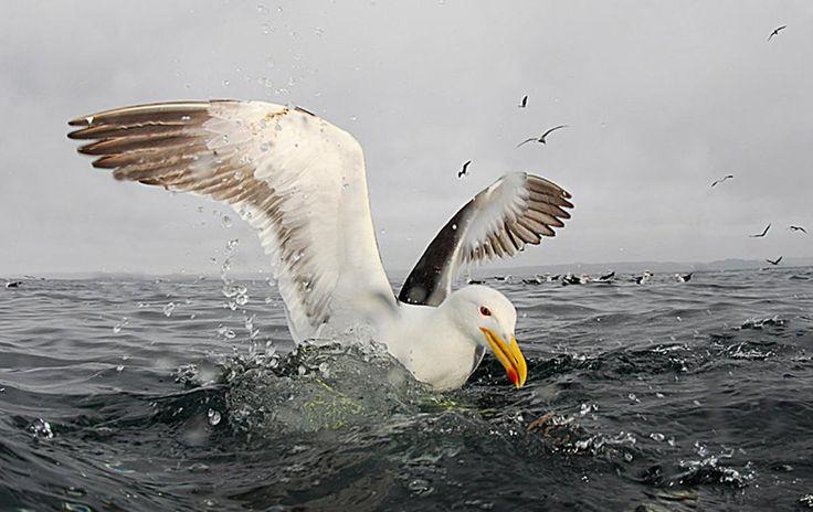 Kelp Gull | Oceana