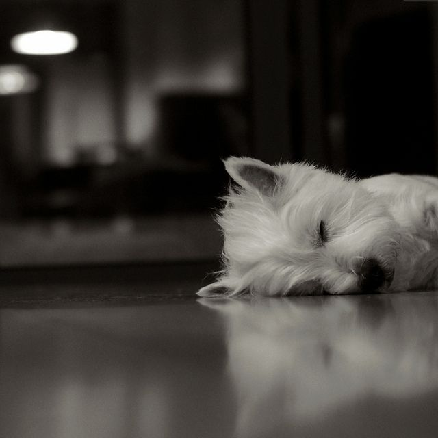 Westies are so adorable when they sleep. Looks just like mine. He always has the best bed head too :)