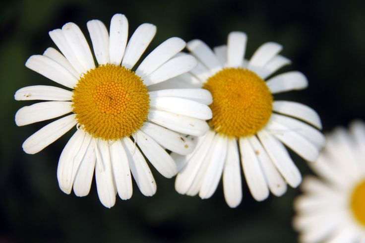 Shasta Daisies  A day getting lost in the beauty of the prairies. - Truly You Life Coaching