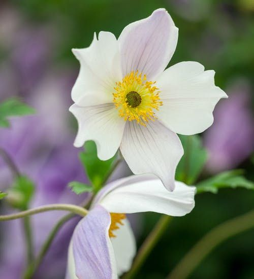 Anemone Wild Swan In 2020 Shade Plants Plants Hardy Perennials