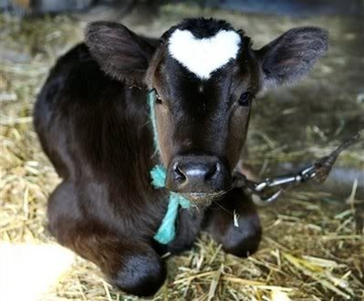 baby cow heart..awwww: Sweet, Farms, Pet, Heart Shape, Calf, Valentines Day, Baby Cows, Calves, Animal