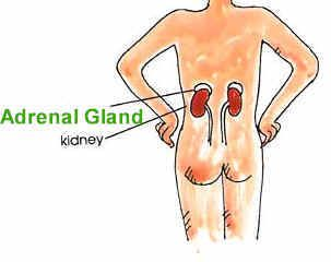 all about the adrenal glands  paying attention to adrenal fatigue can set you on the right path to wellness.