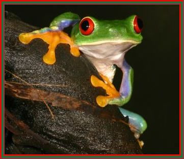 Tree Frog | Animals world: tree frogs pics red eye tree frogs