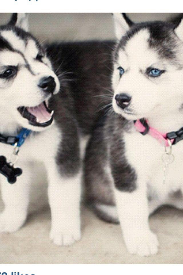 Best 25+ Baby huskies ideas on Pinterest   Cute husky ... Baby Siberian Husky Puppies