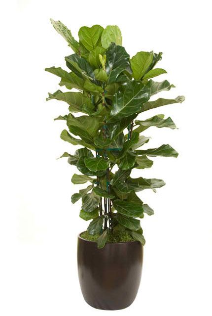 Ficus lyrata column fiddle leaf great for small spaces Tall narrow indoor plants