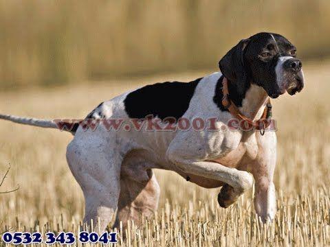 Av köpeği 05323438041