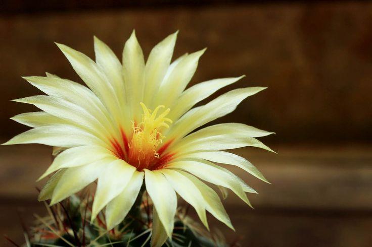 beautiful flower of hamatocactus