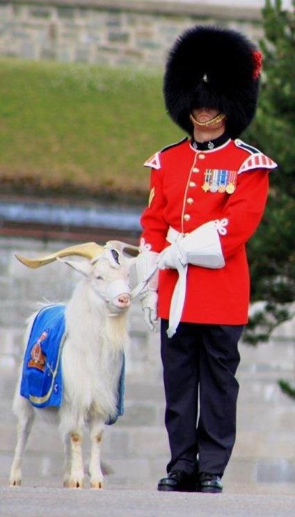 Voici Batisse la mascotte du Royal 22e Régiment, héritié d'une longue tradition. Les ancêtres de Batisse ont été donnés en cadeau par le Shah de Perse à la reine Victoria, dès 1844, formant le troupeau royal gardé au jardin zoologique de Londres. Ces boucs tibétains deviennent la mascotte du Régiment de la reine. Avec son affiliation au Régiment britannique Royal Welch Fusiliers, le Royal 22e Régiment obtient à son tour, en 1955,  le privilège d'utiliser le bouc comme mascotte. Par CSA…