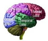 The occipital lobes are positioned at the back region of the cerebral cortex.