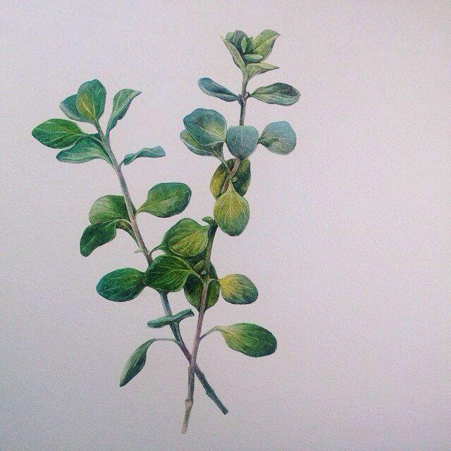 Marjoram  Watercolor