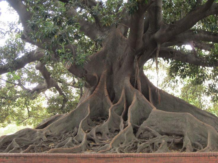 The Ombu' Tree, Recoleta