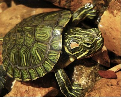 Gallery For > Different Types Of Water Turtles