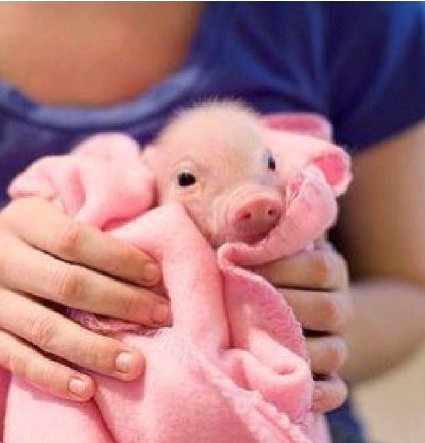 Baby piglet | Clementine | Pinterest