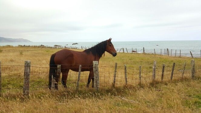 One of the locals, beautiful brown horse surveying the sea