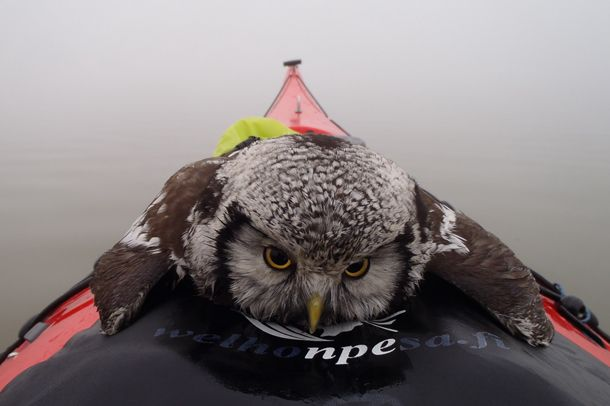 """""""Can you help a fella out, Pentti?"""" Poor owl went for an early morning swim, but fortunately a kayaker pulled him out."""