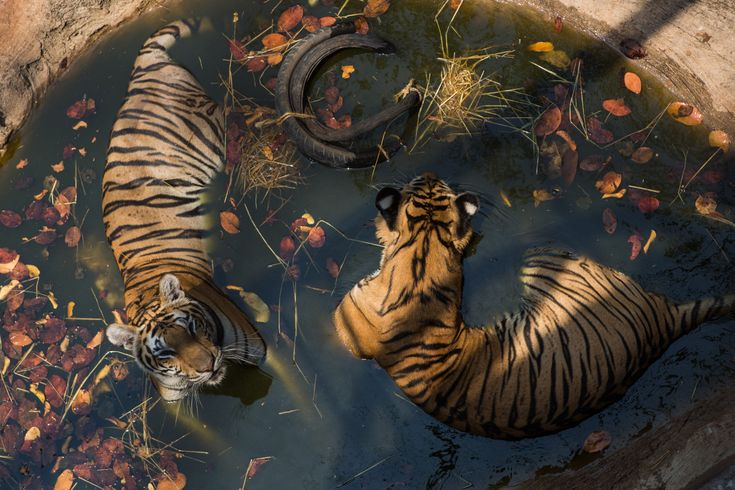 Field Notes: Tigers Cool Off at a Buddhist Temple …