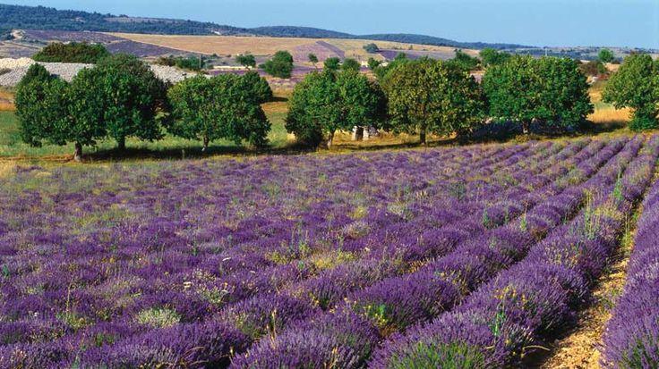 , Lavender Fields of Toulon France