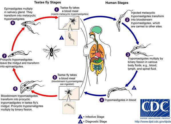 13 best arthropoda images on pinterest microbiology labs and life african trypanosomiasis also known as sleeping sickness is caused by microscopic parasites fandeluxe Images