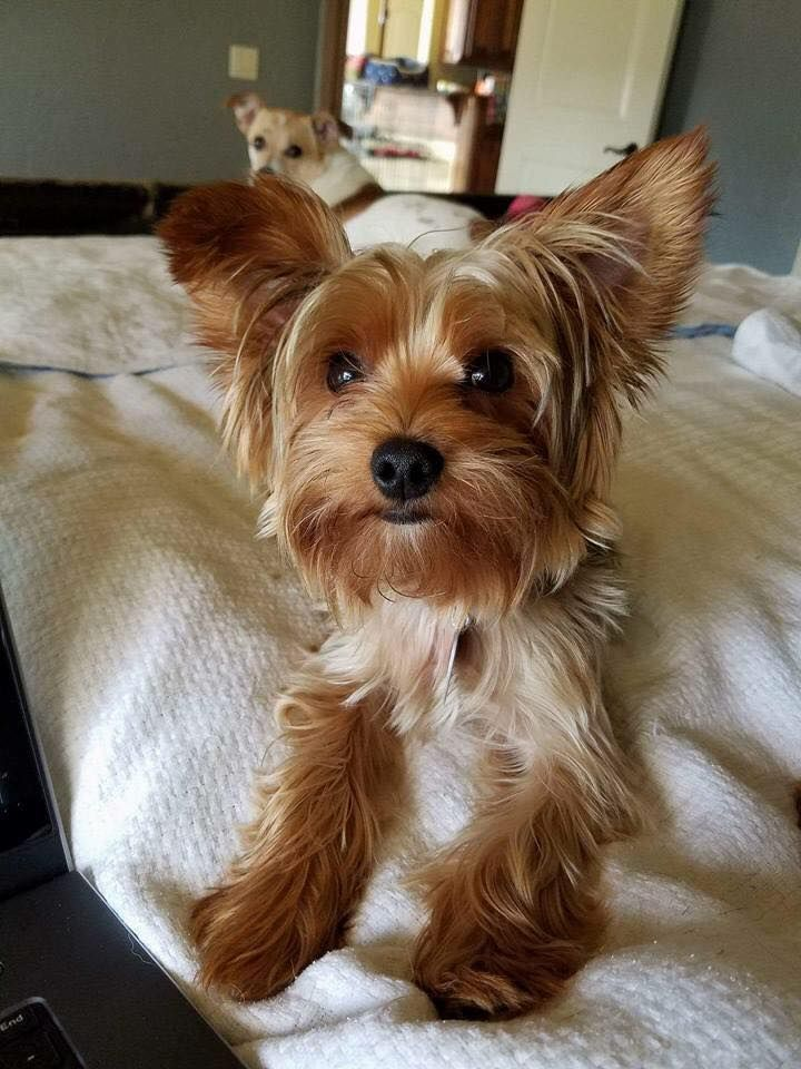 cute yorkie #dogs #teacupdogs #yorkiedogs