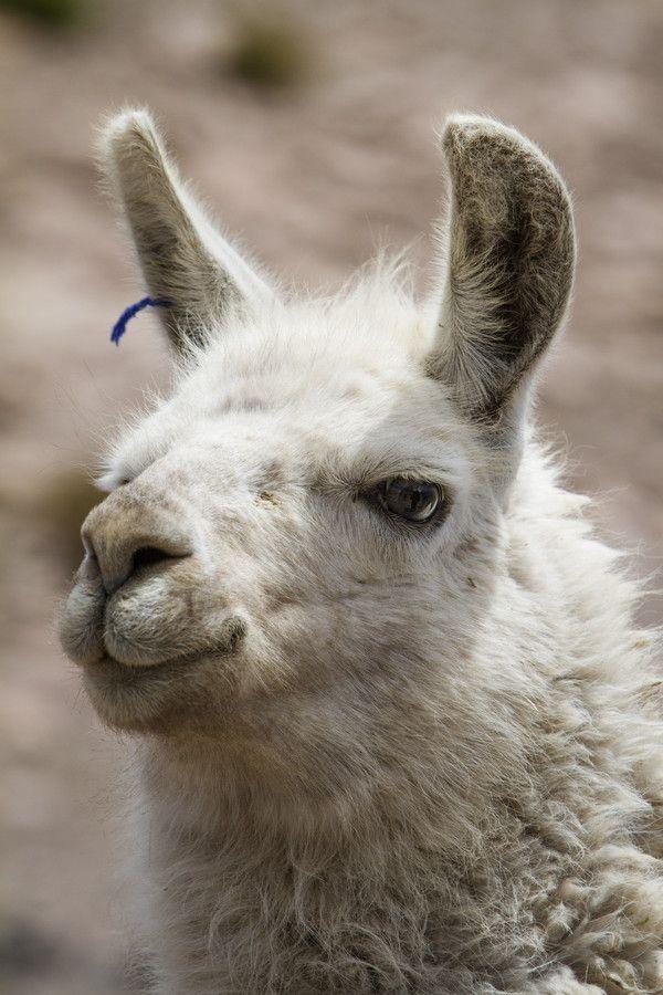 Atacama Alpaca. South America