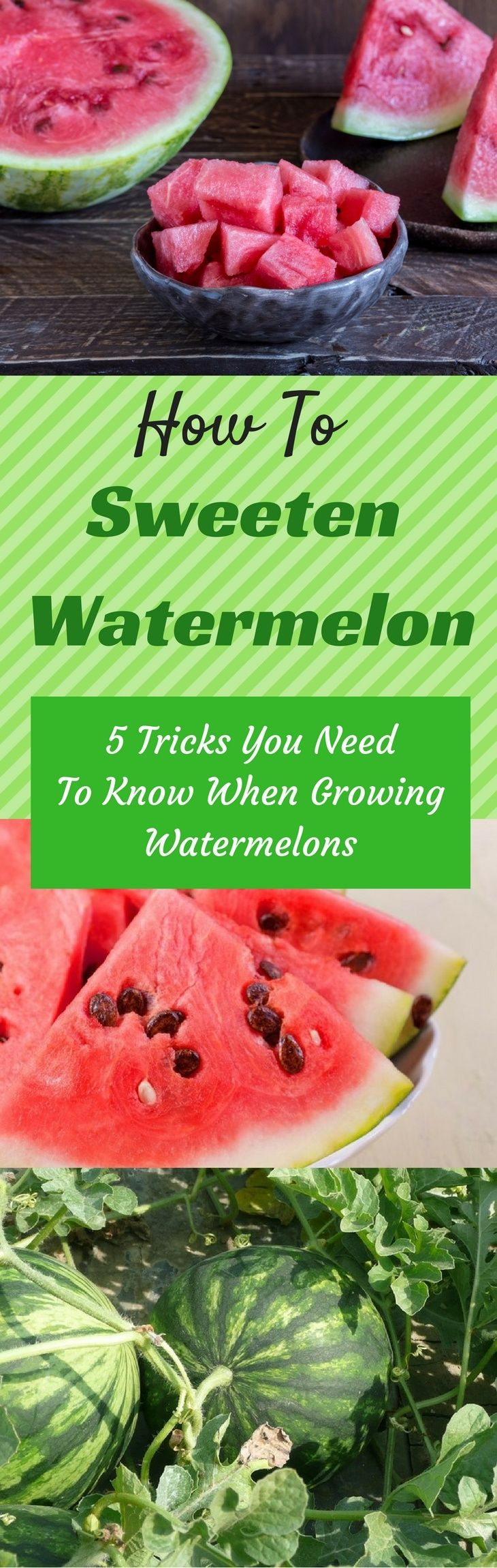 Beat the heat with a yummy watermelon. Oops! Don't just bite it, but learn the tricks in growing and how to sweeten watermelon! Source: https://gardenambition.com/how-to-sweeten-watermelon/