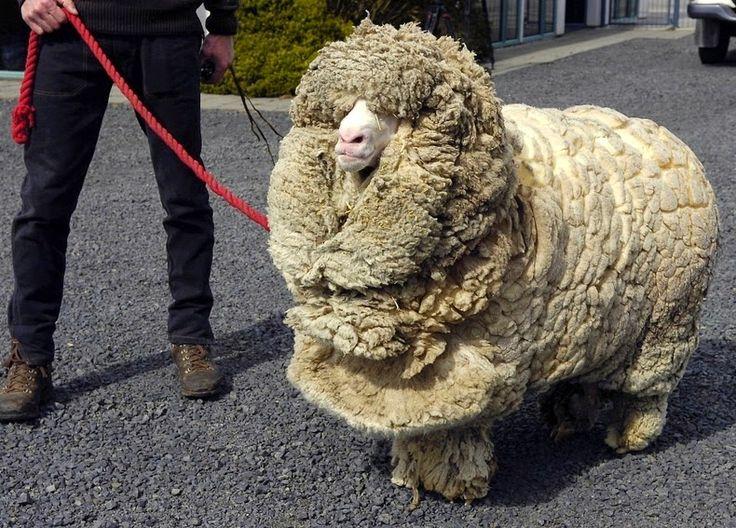 Shrek? Oui, c'est un mouton qui a échappé aux cisailles durant 6 ans!