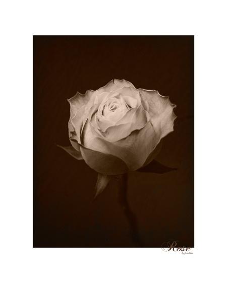 """ROSE DECOR"" © fotograf kallen"