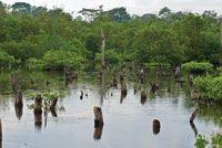 Restauración de la cobertura de manglar en la Ciénaga Grande de Santa Marta.