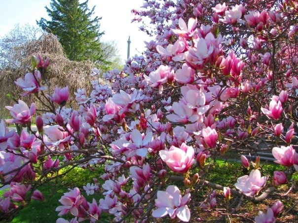 magnolias ... queenston