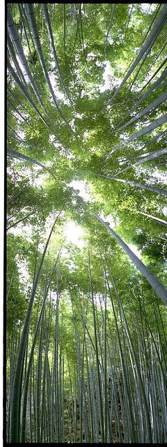 Kamakura bamboo forest, Japan