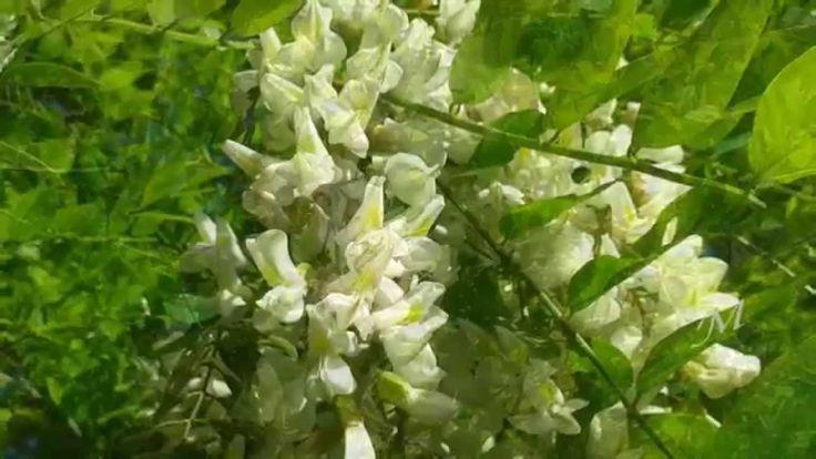 Bokor János - Minden évben újra nyílnak az akácfavirágok 720HD