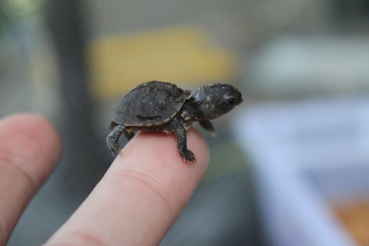 Tiny box turtle hatchling!!